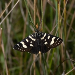 Phalaenoides tristifica (TBC) at Forde, ACT - 24 Oct 2021 by Roger