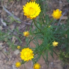 Xerochrysum viscosum (Sticky everlasting) at Acton, ACT - 23 Oct 2021 by abread111