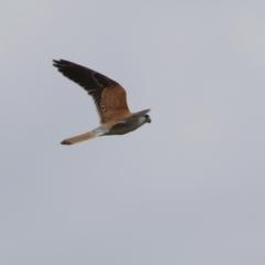 Falco cenchroides (Nankeen Kestrel) at Jerrabomberra, ACT - 23 Oct 2021 by RodDeb