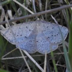 Taxeotis (genus) (TBC) at Rendezvous Creek, ACT - 25 Oct 2021 by JohnBundock