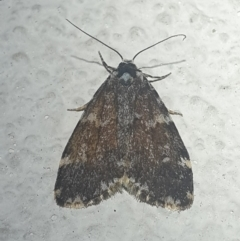 Unidentified Moth (Lepidoptera) (TBC) at Turner, ACT - 26 Oct 2021 by LD12