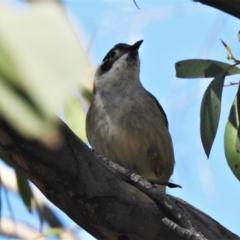Melithreptus brevirostris (Brown-headed Honeyeater) at Rendezvous Creek, ACT - 26 Oct 2021 by JohnBundock