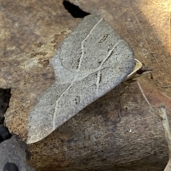 Antasia flavicapitata (TBC) at Mount Clear, ACT - 26 Oct 2021 by RAllen