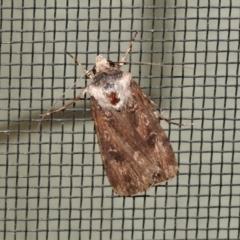 Unidentified Noctuoid moths (except Arctiinae) (TBC) at Wanniassa, ACT - 26 Oct 2021 by JohnBundock