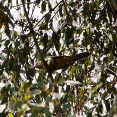 Cacomantis flabelliformis (TBC) at suppressed - 26 Oct 2021 by LisaH