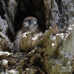 Falco cenchroides (TBC) at suppressed - 23 Oct 2021 by RodDeb