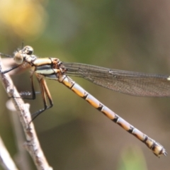 Unidentified Dragonfly & Damselfly (Odonata) (TBC) at suppressed - 26 Oct 2021 by LisaH