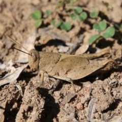 Unidentified Grasshopper, Cricket or Katydid (Orthoptera) (TBC) at suppressed - 26 Oct 2021 by LisaH