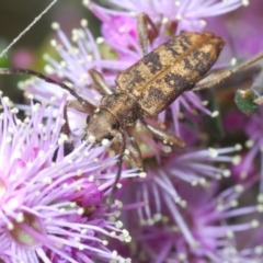 Unidentified Longhorn beetle (Cerambycidae) (TBC) at suppressed - 22 Oct 2021 by Harrisi