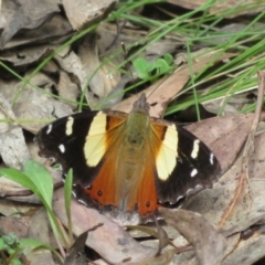 Vanessa itea (Yellow Admiral) at Cotter River, ACT - 22 Oct 2021 by Christine