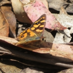 Argynnina cyrila (Forest brown, Cyril's brown) at Cotter River, ACT - 23 Oct 2021 by Christine