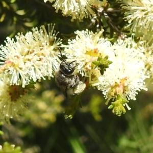 Leioproctus sp. (genus) (Plaster bee) at suppressed by HelenCross