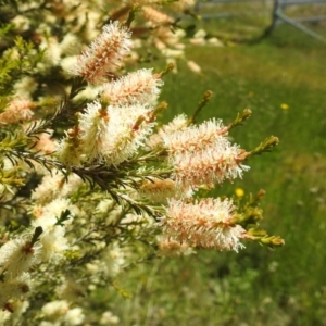 Melaleuca parvistaminea (Small-flowered Honey-myrtle) at suppressed by HelenCross