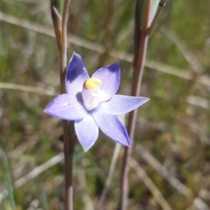 Thelymitra pauciflora (TBC) at suppressed by mlech