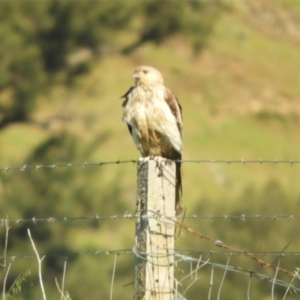 Haliastur sphenurus (Whistling Kite) at Wee Jasper, NSW by SimoneC