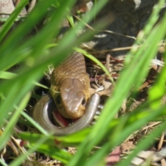 Pseudonaja textilis (Eastern Brown Snake) at Molonglo Valley, ACT - 27 Oct 2021 by Christine