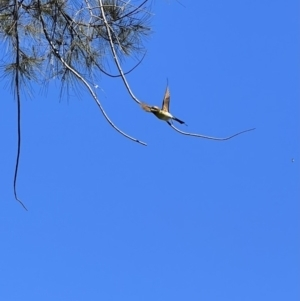 Merops ornatus (Rainbow Bee-eater) at Wee Jasper, NSW by SimoneC