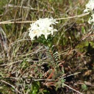 Pimelea linifolia (Slender Rice Flower) at Kambah, ACT by MatthewFrawley
