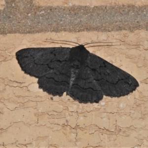 Melanodes anthracitaria (Black Geometrid) at Wanniassa, ACT by JohnBundock
