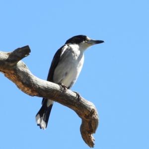 Cracticus torquatus (Grey Butcherbird) at Paddys River, ACT by MatthewFrawley