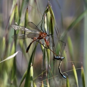 Harpobittacus australis (Hangingfly) at Paddys River, ACT by RodDeb