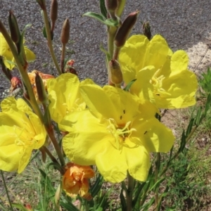 Oenothera stricta subsp. stricta (Common Evening Primrose) at Paddys River, ACT by RodDeb