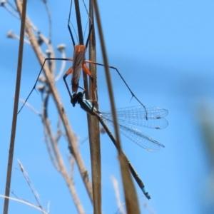 Ischnura heterosticta (Common Bluetail Damselfly) at Paddys River, ACT by RodDeb