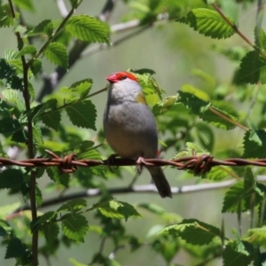 Neochmia temporalis (Red-browed Finch) at Paddys River, ACT by RodDeb