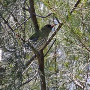 Oriolus sagittatus (Olive-backed Oriole) at Gordon, ACT by RodDeb