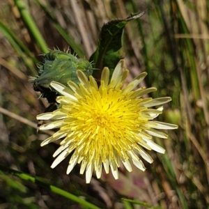 Sonchus oleraceus (Annual Sowthistle) at Cook, ACT by drakes