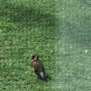 Carduelis carduelis (TBC) at suppressed by schand50