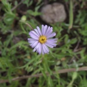 Vittadinia muelleri (Narrow-leafed New Holland Daisy) at Theodore, ACT by michaelb