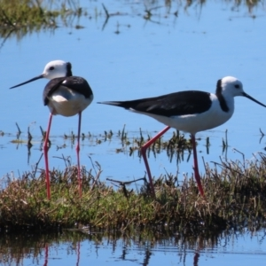 Himantopus leucocephalus (TBC) at suppressed by roymcd