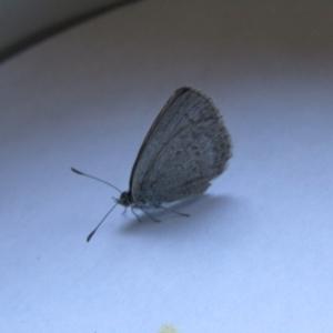 Zizina otis (Common Grass-Blue) at suppressed by Birdy