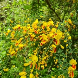 Genista monspessulana (Cape Broom, Montpellier Broom) at Isaacs, ACT by Mike