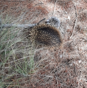 Tachyglossus aculeatus (TBC) at suppressed by MB