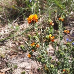 Pultenaea procumbens (Bush Pea) at Chisholm, ACT by MB