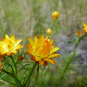 Xerochrysum viscosum (Sticky everlasting) at Chisholm, ACT by MB