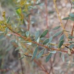 Acacia buxifolia subsp. buxifolia (Box-leaf Wattle) at Canberra Central, ACT - 21 Apr 2014 by AaronClausen