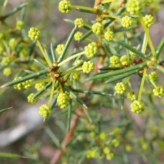 Acacia genistifolia (Early Wattle) at Black Mountain - 27 Apr 2014 by AaronClausen