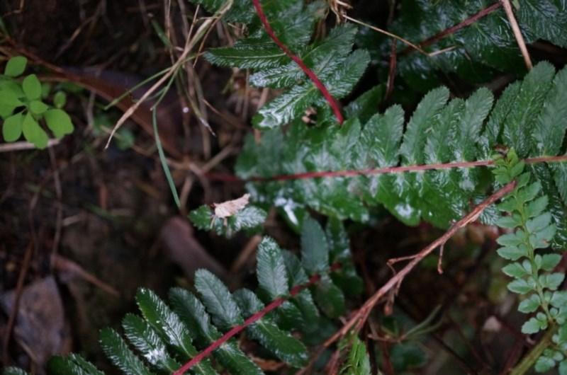 Doodia australis at Black Mountain - 3 May 2014