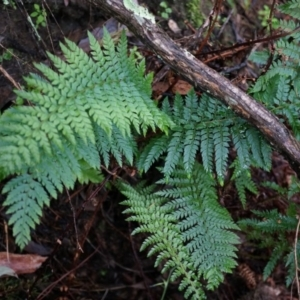 Polystichum proliferum at Black Mountain - 3 May 2014