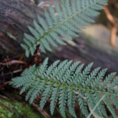Polystichum proliferum (Mother shield fern) at Black Mountain - 3 May 2014 by AaronClausen