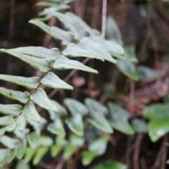 Pellaea calidirupium (Hot rock fern) at Black Mountain - 3 May 2014 by AaronClausen