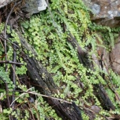 Asplenium flabellifolium (Necklace fern) at Black Mountain - 3 May 2014 by AaronClausen