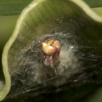 Araneus albotriangulus