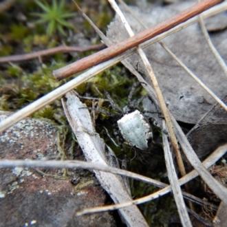 Araneus dimidiatus