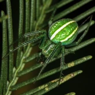 Araneus ginninderranus