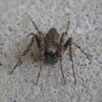 Araneus sp. (genus)