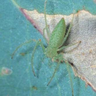 Araneus talipedatus